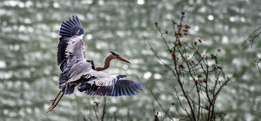 山西平陸:黃河岸邊蒼鷺舞