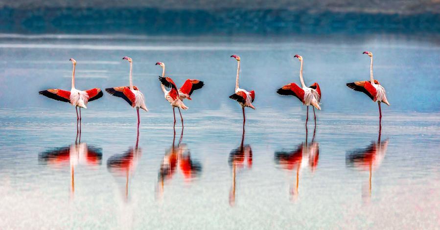 鹽湖上飛來越冬火烈鳥